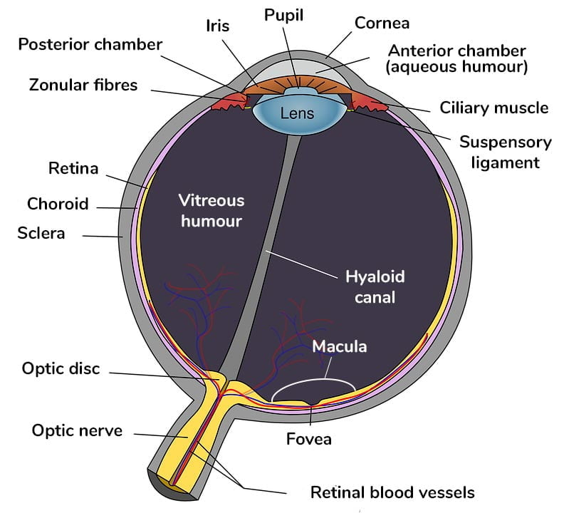 Illustration of the eye structure of an eye